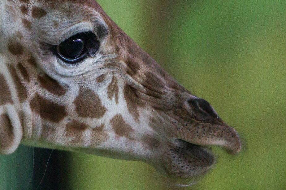 В Калининградском зоопарке открыли для посетителей павильон с новорожденным жирафом